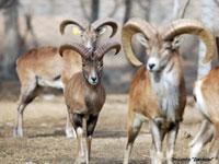 Бухарский горный баран